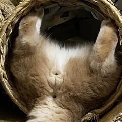 マンチカン/にゃんこ/猫 オイラは愉快なオトコナ😸ぐらたん