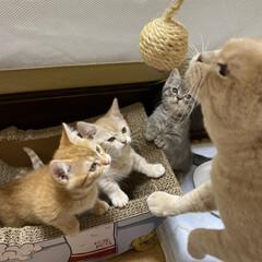 仔猫/マンチカン/にゃんこ/ねこ パパが遊び方教えるナ😸ぐらたん パパずる…