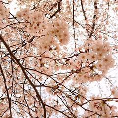桜/サクラ/お花見/息子デート/春/CherryBlossom 夕方の桜はまた少し違う雰囲気に🌸🍃  「…