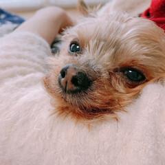 ヨークシャーテリア/愛犬/うちの子自慢 顎のせ好きです