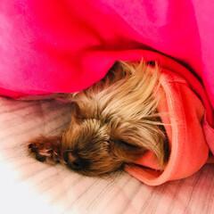 ヨークシャーテリア/愛犬/お昼寝/うちの子自慢 ぐっすりです
