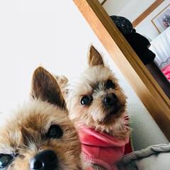 ヨークシャーテリア/愛犬たち/うちの子自慢 チームヨークシャー!