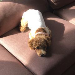 犬/愛犬/服/寝起き/マルプー 我が家の愛犬「ココ」ちゃんです😚 今日の…