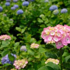 紫陽花/長谷寺/鎌倉/おでかけワンショット 長谷寺の紫陽花です。 満開まではもう少し…
