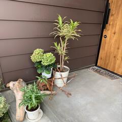 カフェ風インテリア/ドラセナ/流木/玄関まわり/玄関 最近の玄関まわり。 最近はガーデンショッ…