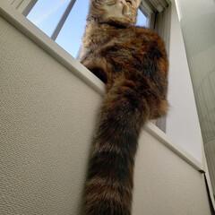 熊本/猫好きさんと繋がりたい/猫好き仲間募集/エキゾ/エキゾチックショートヘア/きなこ/... 窓際のきなこ♡ 尻尾がたぬきみたい☆