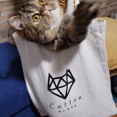 ぶさかわ/猫好き仲間募集/かわいい/エキゾチックショートヘア/きなこ/タグニャンずplusワン/... 袋が大好きなきなこ♡ bagの中で、ゴソ…