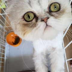 猫好きさんと繋がりたい/フォロー大歓迎/猫好き仲間募集/タグニャンずplusワン/ペルシャ/令和元年フォト投稿キャンペーン/... ドアップぺるチャン♡