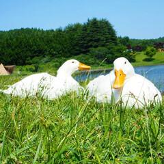 白鳥/志高湖/別府/湖/はじめてフォト投稿 別府志高湖にて、仲良し双子発見