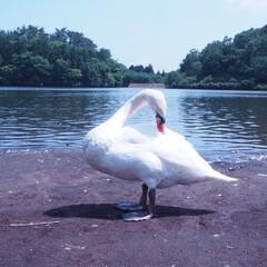 志高湖/白鳥/別府/動物フォト/動物/屋外/... 別府志高湖にて白鳥が神々しかった