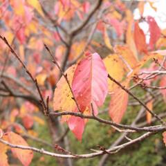 おでかけワンショット/紅葉/箱根 箱根の紅葉の終わり