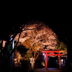神社/桜/わたしのお気に入り 福島県、いわき市の桜巡り中の1枚。