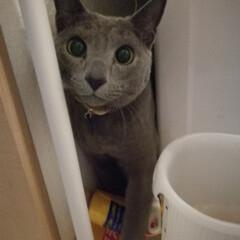 怒られて、ごめん顔/ロシアンブルー/猫/ペット 怒られたら洗濯機の裏に逃げ込みます。 ご…