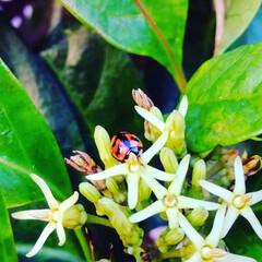 テントウムシ/てんとう虫/昆虫/虫/かわいい/生き物/... 散歩中に、見つけたので撮ってみました。