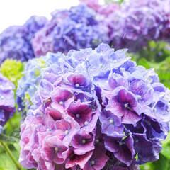 花好き/お散歩/カメラ女子/カメラ好き/雨の日/紫の花/... 雨空と紫陽花