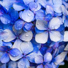 おでかけワンショット/一眼レフカメラ/一眼レフ/カメラ好き/カメラ女子/花のある風景/... 雨上がりの紫陽花をアップで撮影してみました