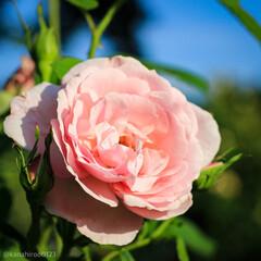 カメラ好き/カメラ女子/おでかけワンショット/みんなにおすすめ/バラ園/バラ/... ローズガーデン