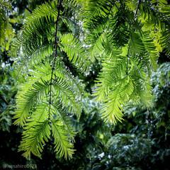 葉のしずく/葉の雫/雫/しずく/雨の日も楽しく/雨の日/... 雨上がり  歯の隙間に溜まった雫が太陽の…