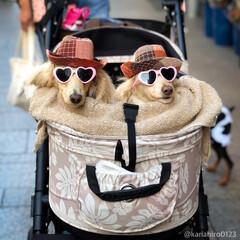 犬コーデ/犬の散歩/多頭飼い/ダックスフンド/ミニチュアダックスフンド/オシャレ犬/... オシャレわんこ発見!