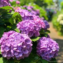 花のある風景/紫の花/カメラ女子/カメラ好き/梅雨の中休み/梅雨/... 紫陽花並木