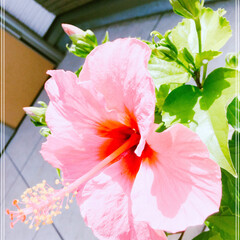 ハイビスカス/グリーン 🌺ハイビスカス🌺  ピンクのハイビスカス…