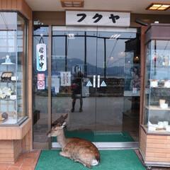 鹿/店/令和元年フォトコンテスト/面白い/思い出/令和元年フォト投稿キャンペーン お店に入ろうとしたところ 鹿が扉をふさい…