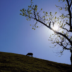 おでかけワンショット 晴天の中、羊たちの日常をシルエットにしま…