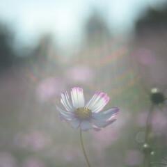 コスモス/日差し/昭和記念公園/オールドレンズ/次のコンテストはコレだ! 日差しに照らされるコスモス