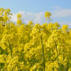 菜の花/はち/花/黄色/はじめてフォト投稿 菜の花畑とミツハチ