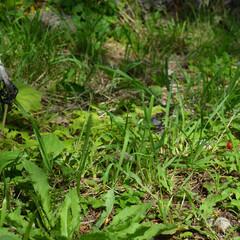 きのこ/植物/実/菌/雨季ウキフォト投稿キャンペーン 「キノコ」と「ヘビイチゴ」  晴れの中散…