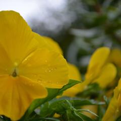 植物/花/黄色/ガーデニング/はじめてフォト投稿 雨粒ついた 黄色いパンジー
