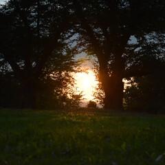 風景/夕日/木/芝生/茜色/自然/... 『 木の間から茜色 』  曇りの中 ちょ…