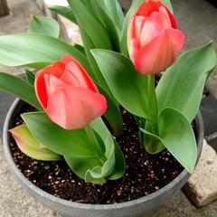 春/花/趣味/チューリップ/園芸 庭のチューリップが咲きました。 もう春で…(1枚目)