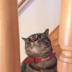 にゃんこ/ねこ/癒し/cat/うちの子自慢/愛猫/... こちら先住猫の茶衣さん😺❤️  基本おっ…(1枚目)
