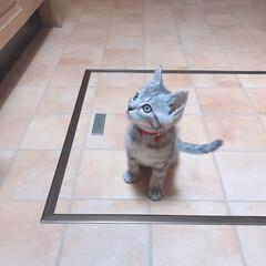 子猫/うちの子ワンショット/うちの子自慢/にゃんこ/愛猫/ねこ/... ここ数日キッチンに興味津々な晴空さん😺💙…