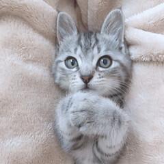 cutecat/cats/cat/かわいい/うちの子自慢/子猫/... 🐰💞💭ㅎㅎ  にゃんこ×毛布って最強♥ᙏ…