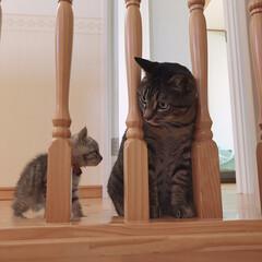 サバトラ/キジトラ/愛猫/にゃんこ/猫/ねこ/... 3歳の茶衣さん😺❤️と 2ヶ月の晴空さん…