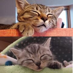 寝顔/cutecat/cat/かわいい/ねこ/子猫/... ↑↑↑ べびにゃん期の茶衣さん😺❤️  …
