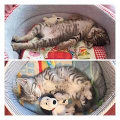 cat/ねんね/にゃんこ/かわいい/ねこ/子猫/... 上が茶衣さんの べびにゃん期ねんね😺❤️…