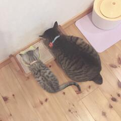 にゃんこ/愛猫/ごはん/かわいい/ねこ/猫/... にぴき並んで🍚する  かわいい🍑🍑おちり…