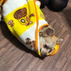 チワックス/お昼寝/うちの子ベストショット お昼寝😴
