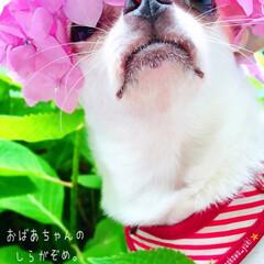 あじさいアフロ/あじさい/紫陽花/散歩/さんぽ/お散歩/... あじさいアフロというより𓈓  紫色の白髪…