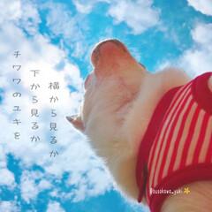打ち上げ花火/映画/うちは/花火/青空/うちの子ベストショット/... ↟↟↟  チワワのユキを、 …(1枚目)