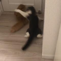スコティッシュフォールド/猫/ケンカ/もはや不審者/ニア/シフォン/... 世にも恐ろしい、狩りの瞬間をどうぞ