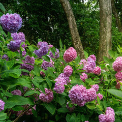 はじめてフォト投稿/紫陽花/大阪 大阪の万博公園で② 色とりどりの紫陽花に…
