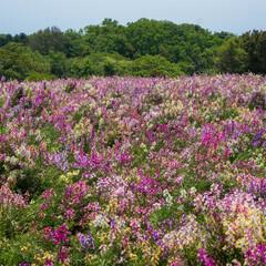 はじめてフォト投稿/旅行/淡路島 あわじ花さじきにて  一面花がいっぱい!