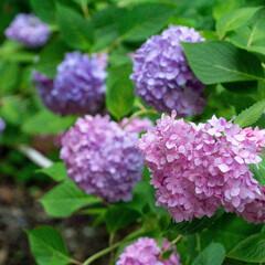 はじめてフォト投稿/紫陽花/大阪 大阪の万博公園で。 たくさん咲いておりま…