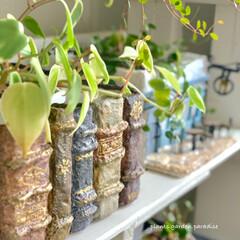 ディスプレイ/デザイン/インテリア/観葉植物/植物のある生活/植物のある暮らし/...  鉢カバーとペペロミアの作品です ペペロ…
