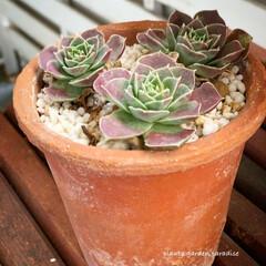 インテリアグリーン/センペル/多肉植物のある暮らし/植物/植物のある暮らし/ガーデニング/... ジョビバルバ  オレンジティップ 水やり…