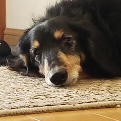 うちの子ベストショット/犬/ミニチュアダックスフンド/おじいちゃん もうすぐ17歳のおじいちゃん 眠くて眠く…